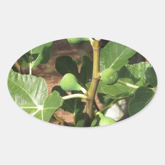 Higos verdes que maduran en una higuera pegatina ovalada