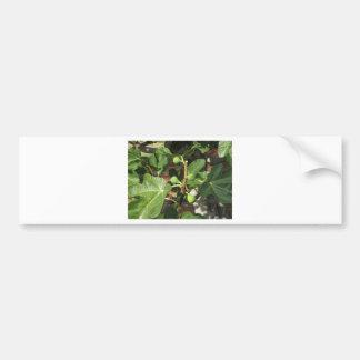 Higos verdes que maduran en una higuera pegatina para auto