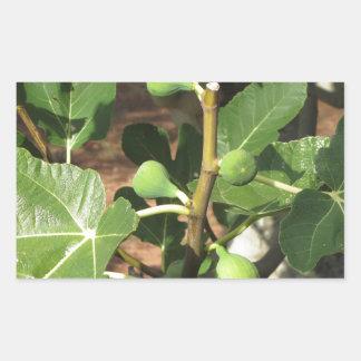 Higos verdes que maduran en una higuera pegatina rectangular