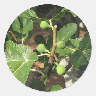 Higos verdes que maduran en una higuera pegatina redonda