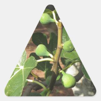 Higos verdes que maduran en una higuera pegatina triangular