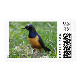 Hildebrandt's Starling Stamp