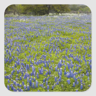 Hill Country, Texas, Bluebonnets and Oak tree Sticker