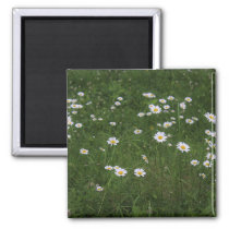 Hill of Daisies Magnet