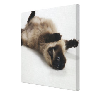 Himalayan Cat Lying on his Back Canvas Print