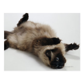 Himalayan Cat Lying on his Back Postcard