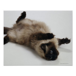 Himalayan Cat Lying on his Back Poster