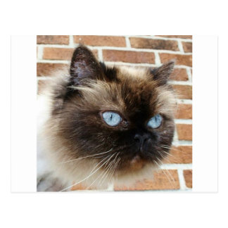 Himalayan cat photo with blue eyes postcard