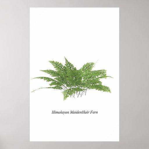 Himalayan Maidenhair fern Print