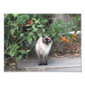 Himalayan Mix cat Photo Print