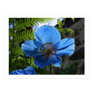 Himilayan Blue Poppy Postcard