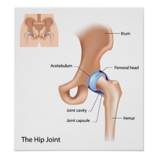 Hip joint structure Poster