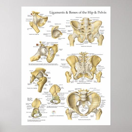 Hip Pelvis Anatomy Ligaments and Bones Poster | Zazzle.com