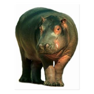 Hipopotamo de enano (Choeropsis liberiensis) Tarjetas Postales