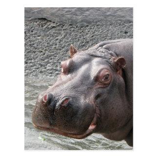 ¡Hipopótamo descarado! Postales