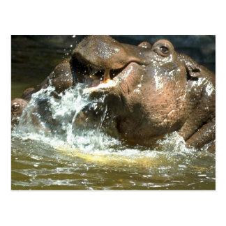 Hipopótamos juguetones tarjetas postales