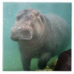 hippo-4 tejas