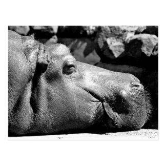 Hippo Doze Postcard