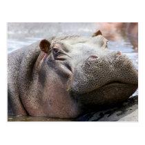 Hippo Head Postcard