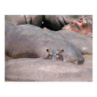 Hippo Looking at You Postcard