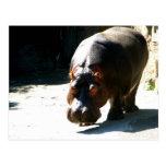Hippo Post Card