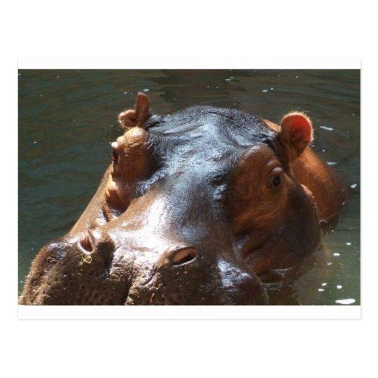 hippo postcard