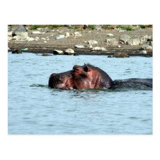 hippo swim postcard