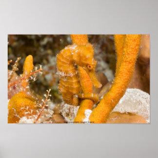 Hippocampus reidi (Longsnout Seahors... Poster