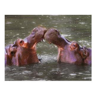 Hippopotami Hippopotamus Amphibius Trying to Kiss Postcard