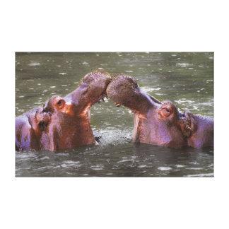Hippopotamus Amphibius de Hippopotami que intenta  Lienzo Envuelto Para Galerias
