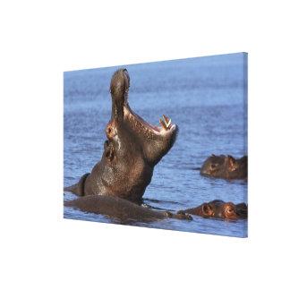 Hippopotamus (amphibius del Hippopotamus) en Lona Envuelta Para Galerias