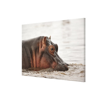 Hippopotamus, amphibius del Hippopotamus, lago Lona Envuelta Para Galerias