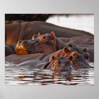 Hippopotamus, amphibius del Hippopotamus, lago Impresiones