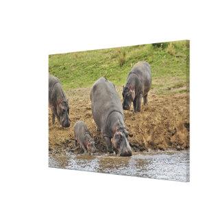 Hippopotamus, amphibius del Hippopotamus, Serenget Impresiones En Lona Estiradas