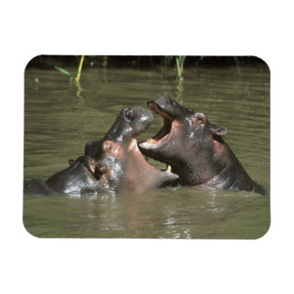 Hippopotamus, (H. amphibius), mother & young Magnet