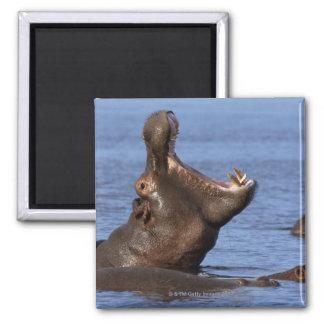 Hippopotamus (Hippopotamus amphibius) in the Magnet