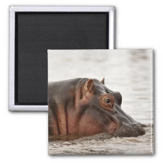 Hippopotamus, Hippopotamus amphibius, Lake Magnet