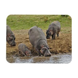 Hippopotamus, Hippopotamus amphibius, Serengeti Magnet