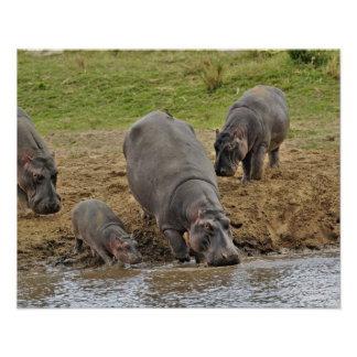 Hippopotamus, Hippopotamus amphibius, Serengeti Poster