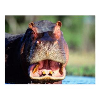 Hippopotamus (Hippopotamus Amphibius) Threat Postcard