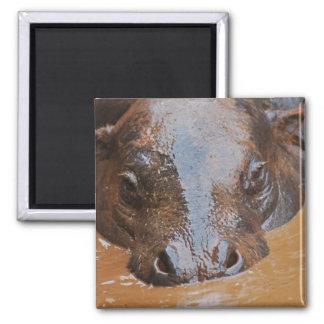 Hippopotamus swimming magnet