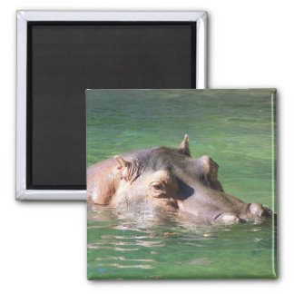 Hippopotamus Swimming On The Surface 2 Inch Square Magnet