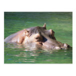 Hippopotamus Swimming On The Surface Postcard