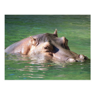 Hippopotamus Swimming On The Surface Post Cards