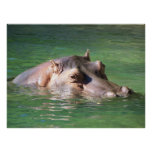 Hippopotamus Swimming On The Surface Posters