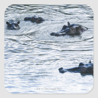 Hippopotamuses wading in a river, Africa Square Sticker