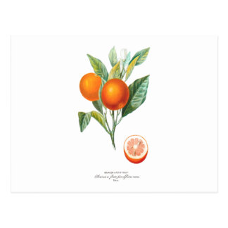 Histoire Naturelle des Orangers Tab 10 Postcard