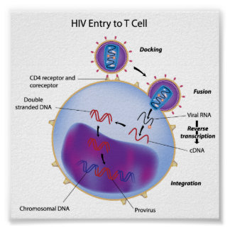 HIV entry to T cell Poster