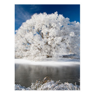 Hoar Frost on Willow Tree, near Omakau, Central 2 Postcard