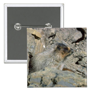 Hoary Marmot Buttons